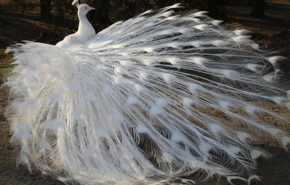 Picture white, bird, feathers, tail, peacock, albino