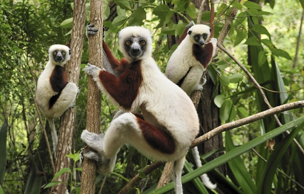 Picture Trees, Forest, Lemurs