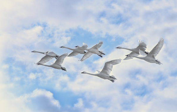 Picture the sky, clouds, flight, birds, swans