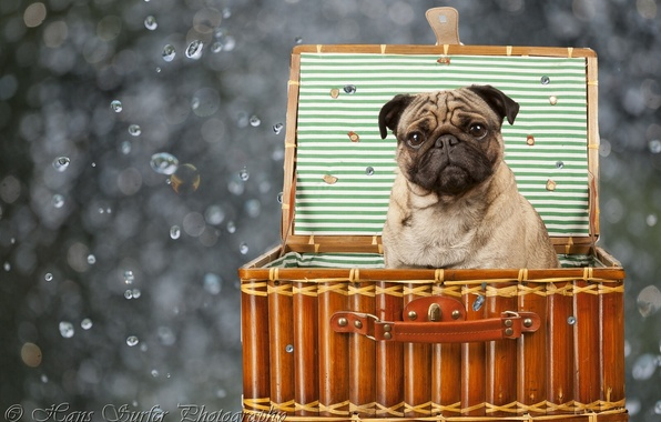 Picture box, dog, pug