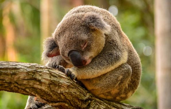 Picture greens, tree, sleep, Koala