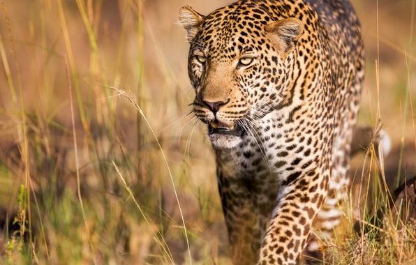 Picture predator, leopard, wild cat, handsome