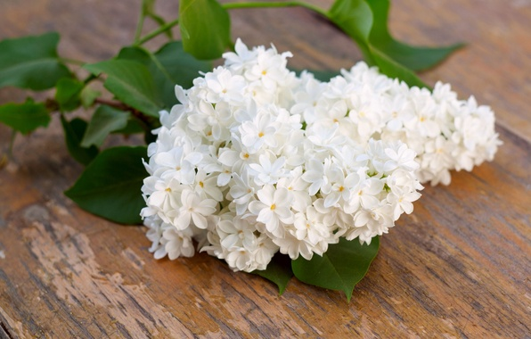 Picture branch, white, flowering, lilac