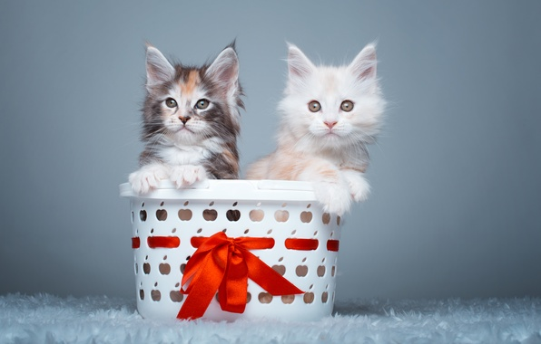 Wallpaper Basket Kittens A Couple Maine Coon Images For
