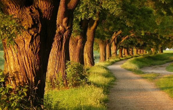 Picture grass, trees, nature, tree, the evening, alley, path, parks, paths, alley, the beauty of light