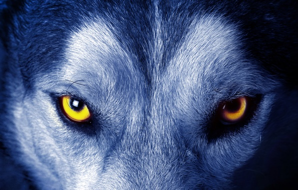 Picture eyes, look, wool, Wolf