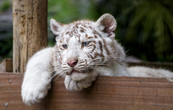 Picture cat, look, kitty, blue eyes, white tiger, tiger, ©Tambako The Jaguar