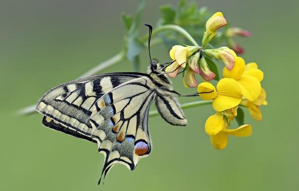 Picture flower, macro, butterfly, Swallowtail