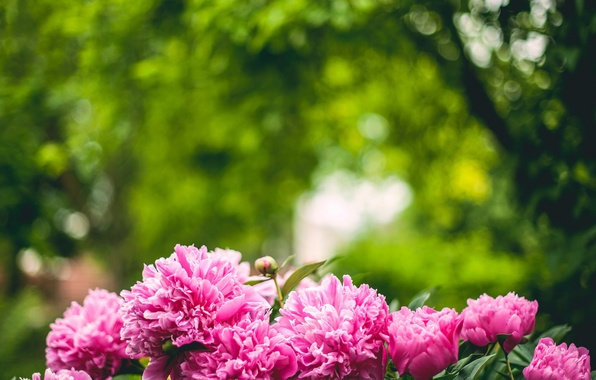 Picture trees, petals, peonies, pink color