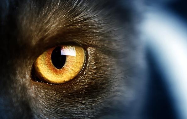 Picture cats, wild, cat, yellow eyes, wild, yellow eye