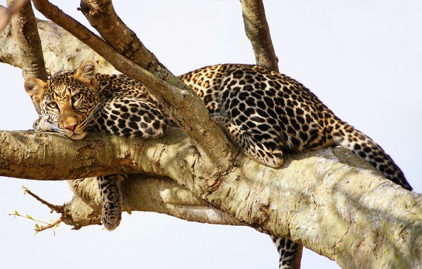 Picture look, tree, stay, predator, leopard