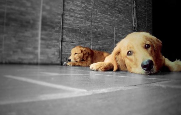 Picture Dog, Golden, Dogs, Golden Retriever, Animals, Animal, Pet, Retriever, LP-Photography