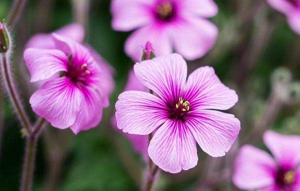 Picture flowers, petals, pink, buds, Geranium