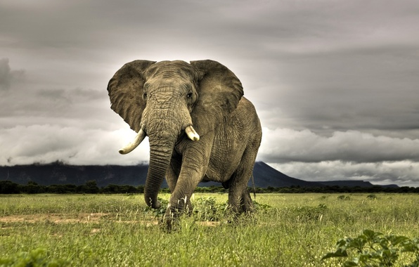 Picture grass, elephant