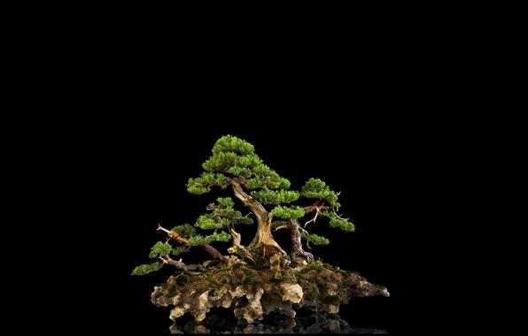 Picture reflection, background, tree, black, bonsai, mini