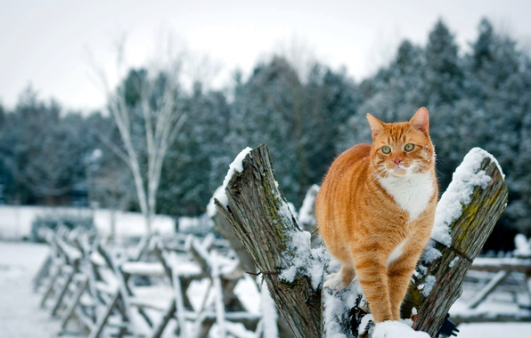 Picture winter, cat, cat, snow, trees, nature, the fence, red
