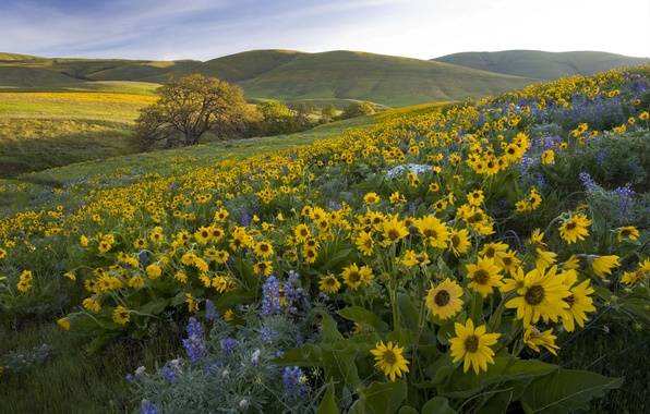 Picture flowers, hills, meadow, Washington, Washington, lupins, balsamorhiza, Park Columbia Hills, Columbia Hills State Park