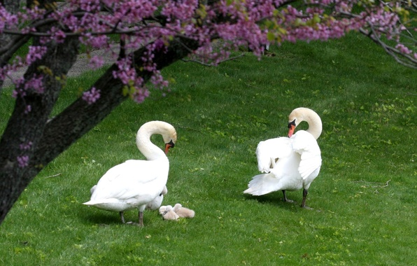 Picture BACKGROUND, TREE, GRASS, PAIR, FAMILY, FIELD, GREENS, FLOWERS, WHITE, SPRING, GREEN, DUCKLINGS, OFFSPRING, SWANS