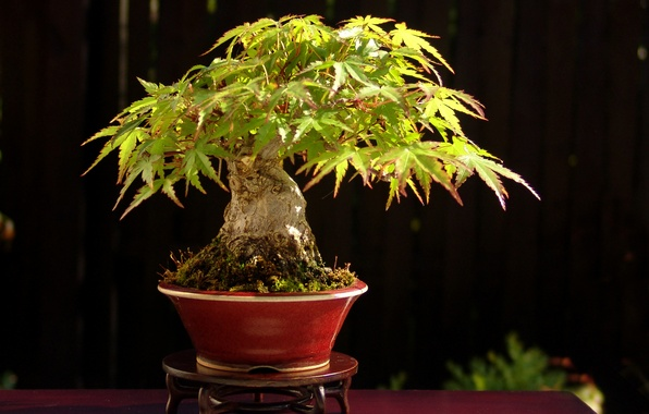 Picture leaves, light, table, tree, Japan, bonsai, stand