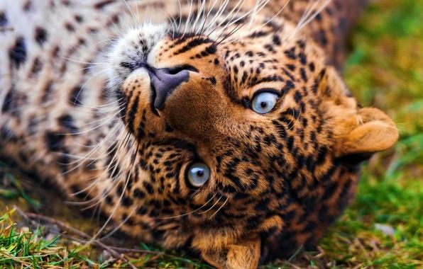 Picture face, Wallpaper, leopard, lies, leopard, looks, beautiful, spotted, panthera pardus