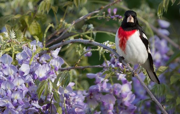 Picture bird, branch, Wisteria, Wisteria, The red-breasted cardinal Dubonosov