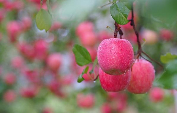 Picture drops, macro, apples, branch, bokeh