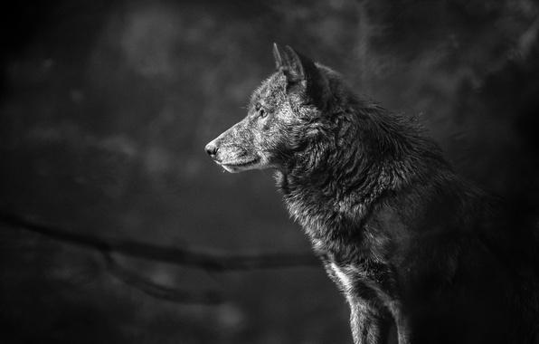 Picture wolf, portrait, predator, black and white, profile, monochrome