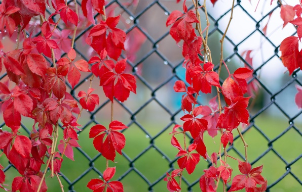 Picture leaves, macro, droplets, mesh, the fence, Red, after the rain, twigs, ivy