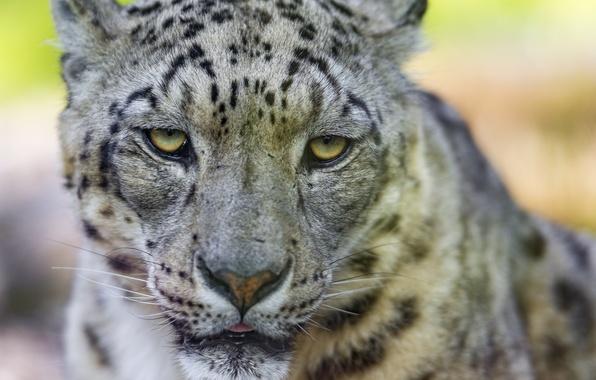 Picture cat, look, face, IRBIS, snow leopard, ©Tambako The Jaguar