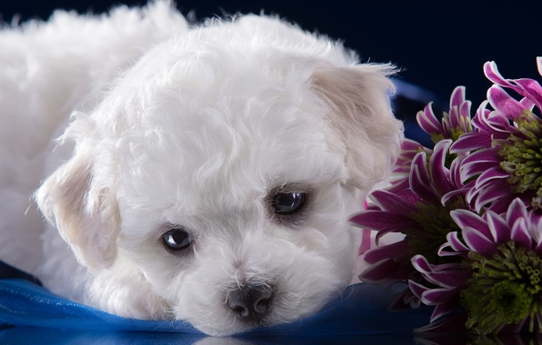 Picture white, muzzle, cute, puppy, chrysanthemum, Bichon Frise