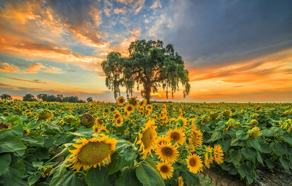 Picture field, sunflowers, sunset, tree, the evening