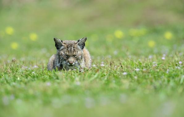 Picture face, stay, sleep, predator, lies, ears, lynx, wild cat, sleep