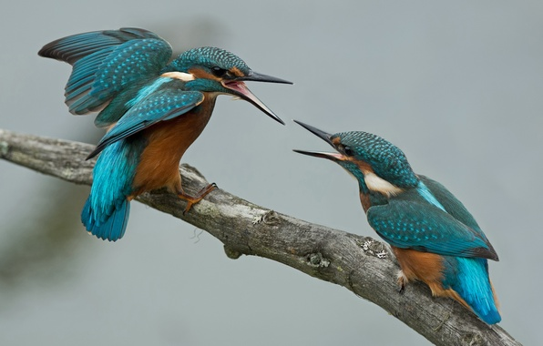 Picture birds, two, branch, Kingfisher, fight