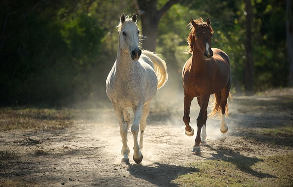 Picture summer, trees, background, horses, dust