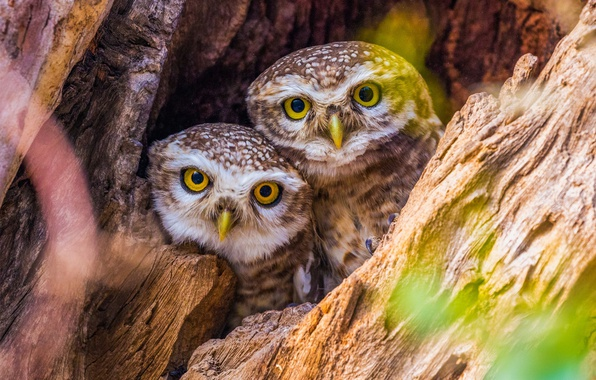 Picture birds, tree, bark, owls, owlets