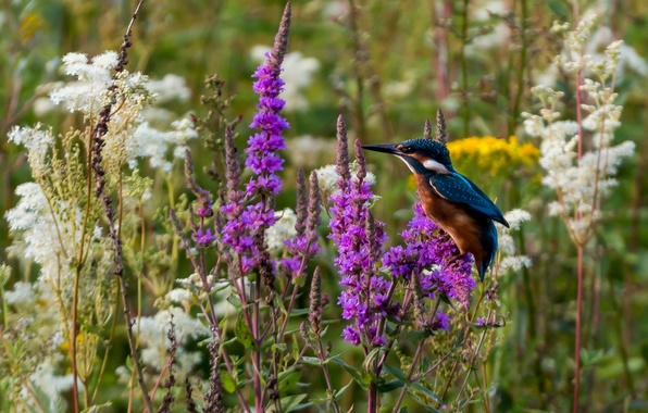 Picture flowers, bird, Kingfisher