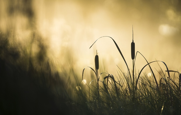 Picture fog, morning, reed