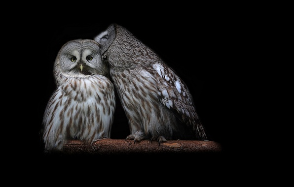 Picture birds, branch, feathers, pair, black background, owls, sitting
