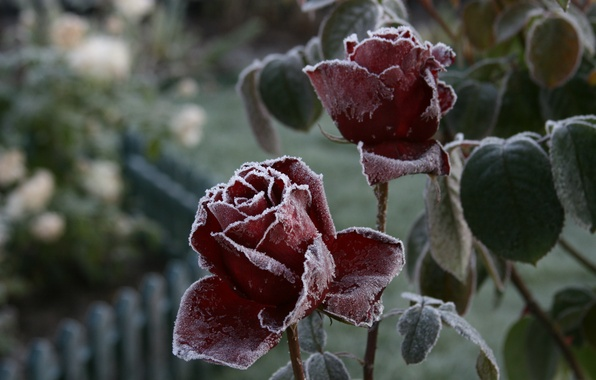 Picture cold, frost, flower, macro, flowers, nature, background, Wallpaper, rose, plant, roses, garden, frost
