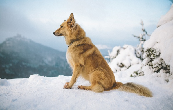 Picture winter, snow, mountains, dog
