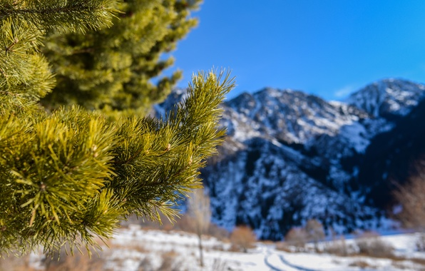Picture macro, snow, mountains, needles, nature, spruce, pine, twigs