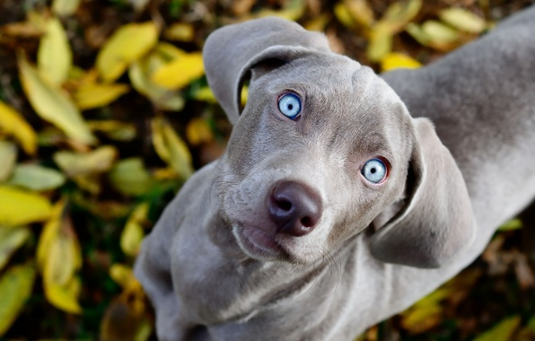 Picture eyes, look, foliage, dog, blue, looks, weimaraner