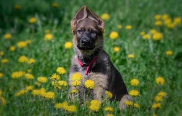 Picture flowers, dog, meadow, puppy, dandelions, German shepherd