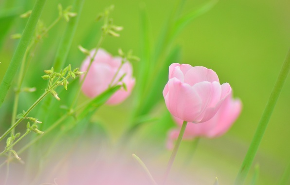 Picture greens, flower, macro, green, pink, color, Tulip, plants, spring, blur, Bud