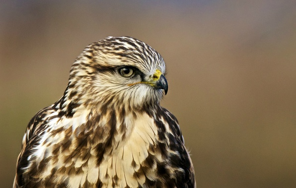 Picture look, bird, profile, bird, hawk, portrait, Buteo lagopus, Rough-legged hawk, The rough-legged Buzzard, rough-legged Buzzard