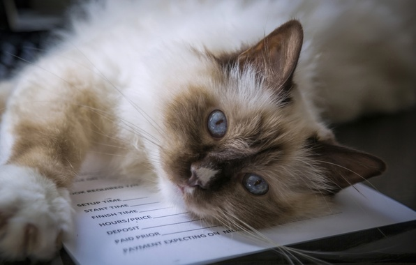 Picture cat, look, muzzle, blue eyes, Burmese, Sacred Birman