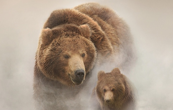 Picture Russia, snow, bears, Land of Bears, filmed in Russia, the Kamchatka Peninsula, Bears of Kamchatka …
