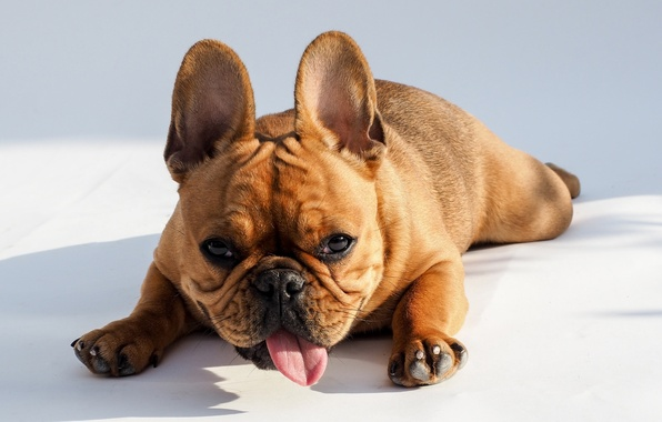 Picture language, look, dog, muzzle, bulldog, French bulldog