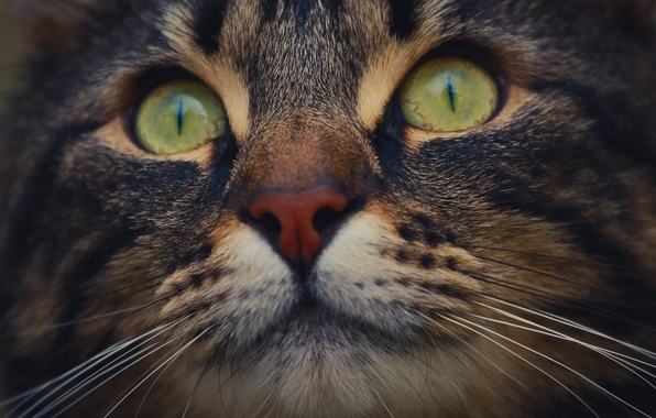 Picture eyes, cat, mustache, macro, nose