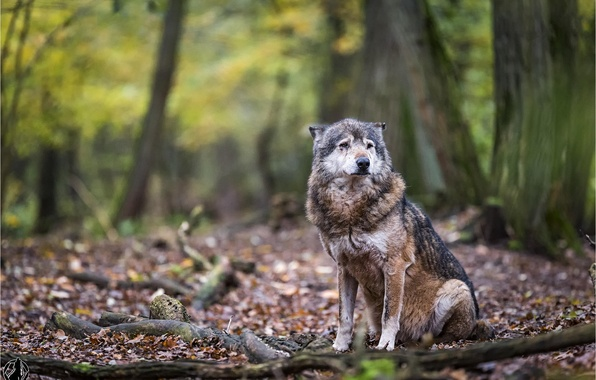 Picture forest, animals, nature, wolf, predator